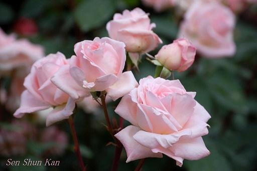 京都府立植物園のバラ (2012年5月)_a0164068_2282443.jpg