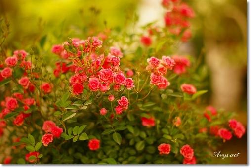 薔薇のお庭_c0243369_0132911.jpg