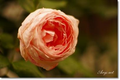薔薇のお庭_c0243369_0145472.jpg