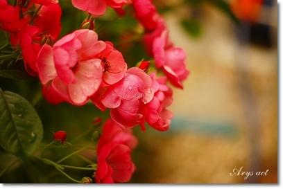 薔薇のお庭_c0243369_0162912.jpg