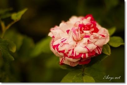 薔薇のお庭_c0243369_0174730.jpg