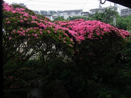 皐月はただいま7分咲きです。_e0251278_714021.jpg