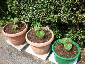 今年もミニ菜園_f0140817_16241431.jpg