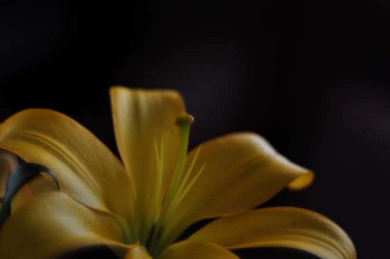 黄色い百合_e0053660_2111586.jpg