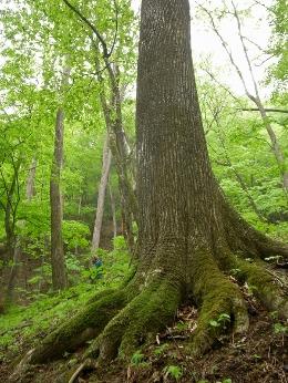 5月20日 シオジ原生林ハイキング レポート_b0209774_23105827.jpg