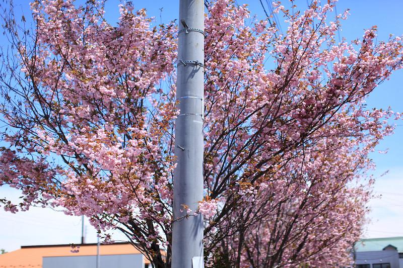 遅い花見 いつもの公園の通りに咲く桜 苫小牧日の出町_a0160581_11184256.jpg
