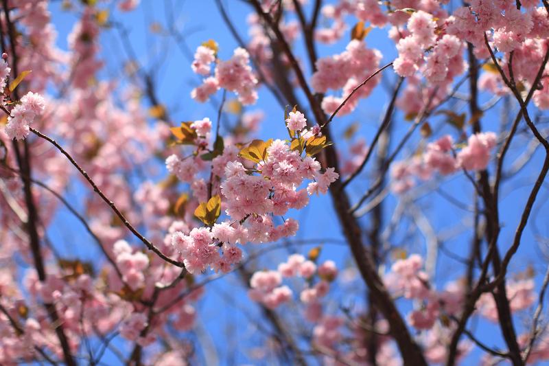 遅い花見 いつもの公園の通りに咲く桜 苫小牧日の出町_a0160581_11185617.jpg