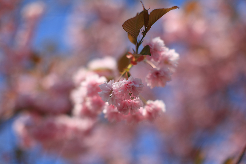 遅い花見 いつもの公園の通りに咲く桜 苫小牧日の出町_a0160581_1119457.jpg
