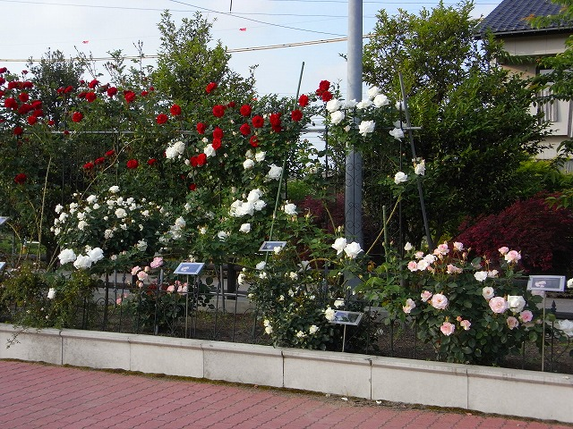 2012春いみずバラ祭り_c0194417_1135305.jpg