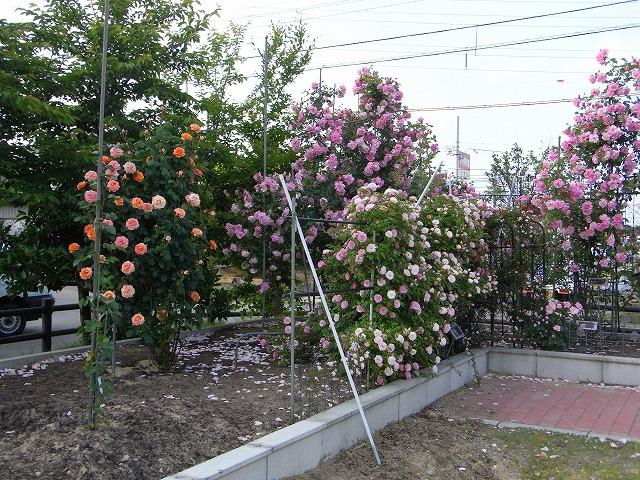 2012春いみずバラ祭り_c0194417_11361237.jpg