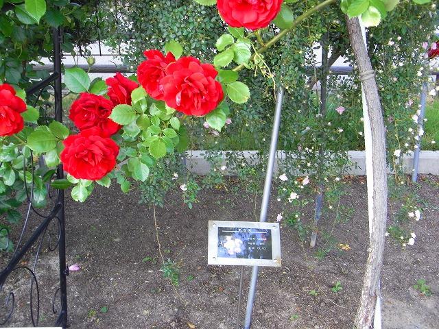 2012春いみずバラ祭り_c0194417_11363720.jpg