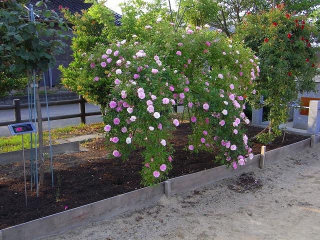 2012春いみずバラ祭り_c0194417_1137845.jpg