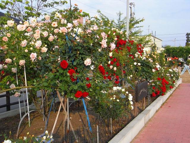 2012春いみずバラ祭り_c0194417_1138101.jpg