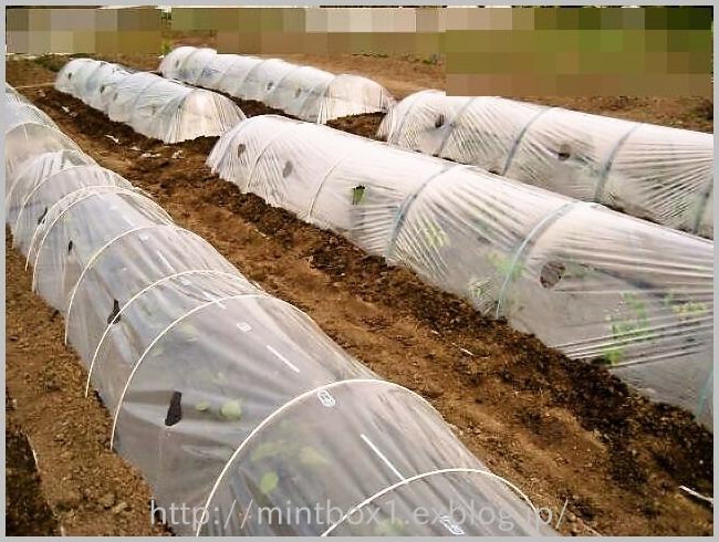 トマト植え付け完了_a0008185_13362745.jpg