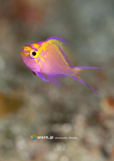 ハナゴンベ幼魚_d0198511_18211733.jpg