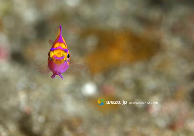 ハナゴンベ幼魚_d0198511_18214518.jpg