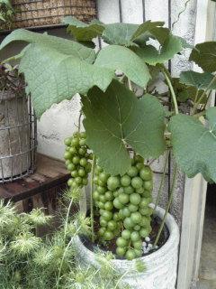 あこがれのブドウ。。。_a0229658_139131.jpg