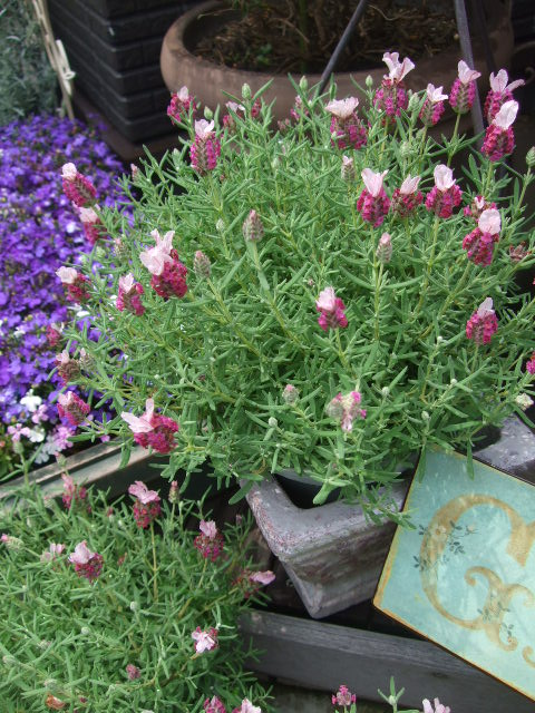 オークリーフ(今日おすすめのバラの花たち)_f0049672_13552613.jpg
