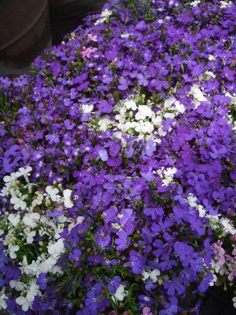 オークリーフ(今日おすすめのバラの花たち)_f0049672_13553394.jpg