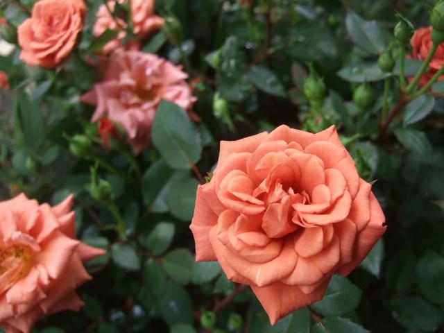 オークリーフ(今日おすすめのバラの花たち)_f0049672_13555038.jpg