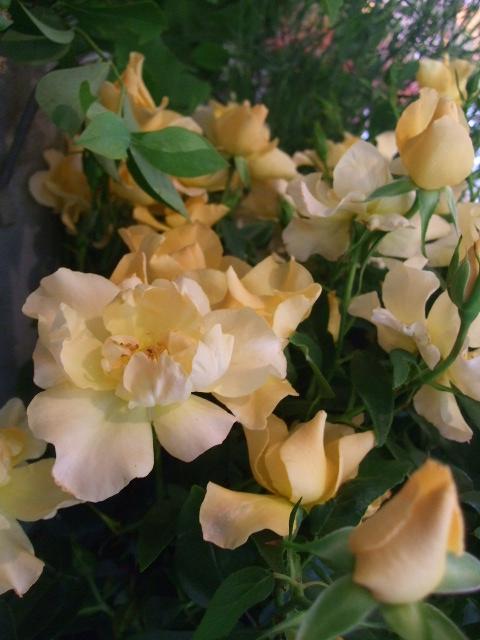 オークリーフ(今日おすすめのバラの花たち)_f0049672_1441397.jpg