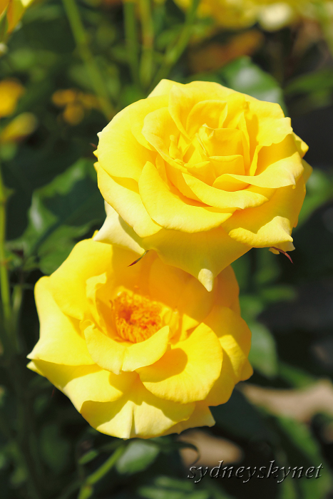 バラに囲まれて_f0084337_1815534.jpg