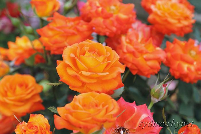 バラに囲まれて_f0084337_1823730.jpg