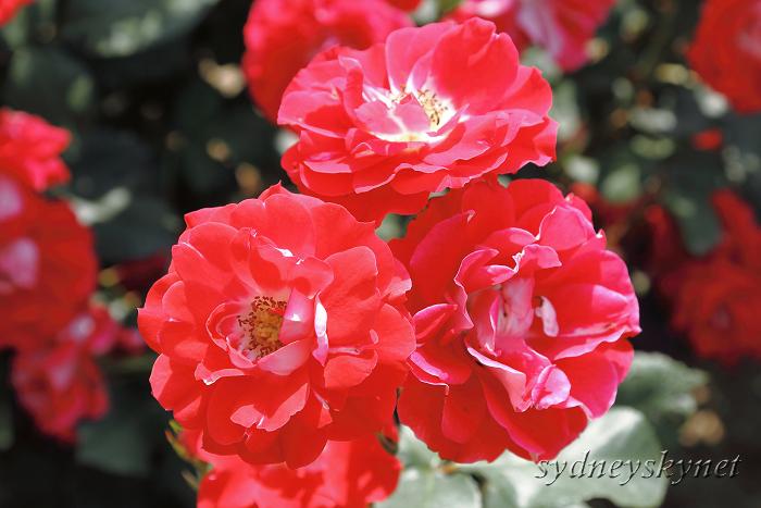 バラに囲まれて_f0084337_182985.jpg