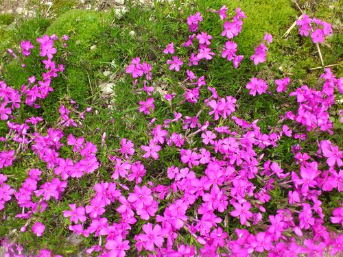 芝桜_b0106766_23241752.jpg