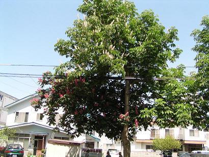 北4条街路樹のとちのき_f0078286_215694.jpg