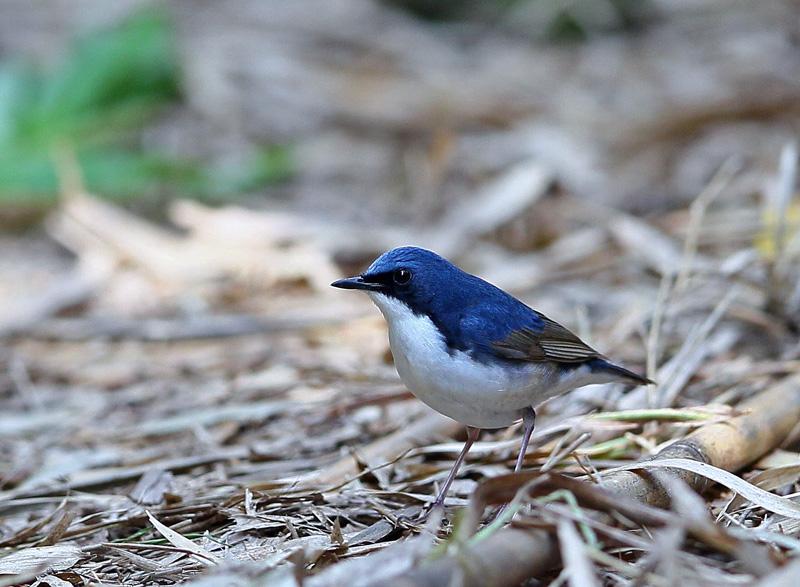 青い鳥・・「コルリ」さん♪_d0195897_13375672.jpg