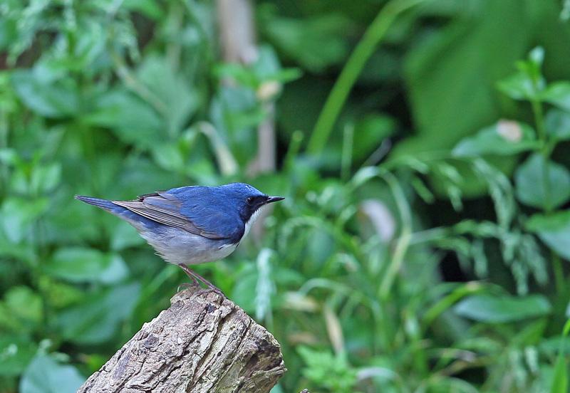 青い鳥・・「コルリ」さん♪_d0195897_13382925.jpg