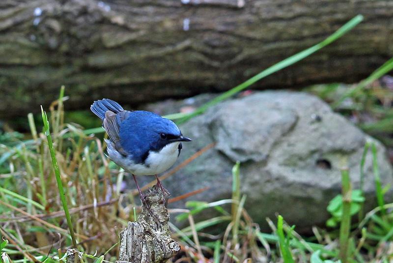 青い鳥・・「コルリ」さん♪_d0195897_13384871.jpg