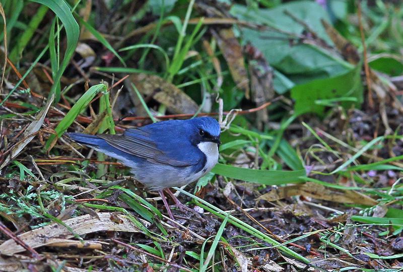 青い鳥・・「コルリ」さん♪_d0195897_1339374.jpg