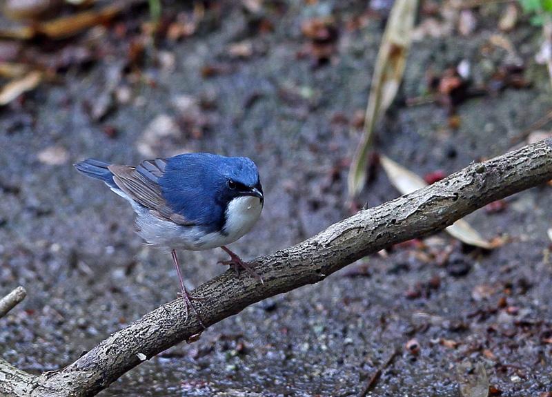 青い鳥・・「コルリ」さん♪_d0195897_13393922.jpg