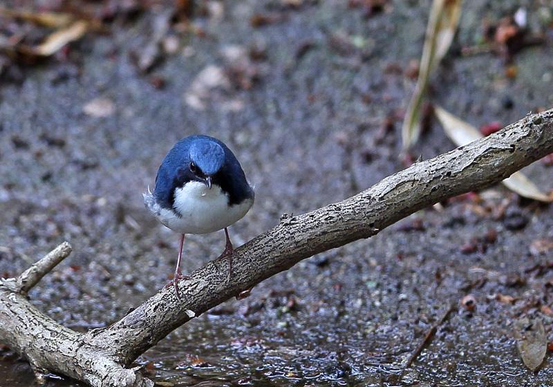 青い鳥・・「コルリ」さん♪_d0195897_13395656.jpg