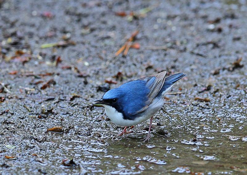 青い鳥・・「コルリ」さん♪_d0195897_13402087.jpg