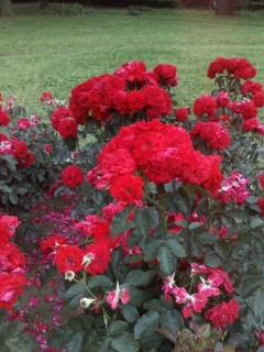 薔薇です。_f0138311_2205416.jpg