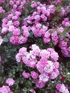 薔薇です。_f0138311_2205440.jpg