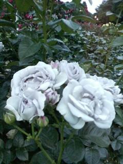 薔薇です。_f0138311_2205471.jpg
