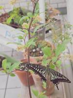 アゲハ蝶の羽化_a0192946_21334420.jpg