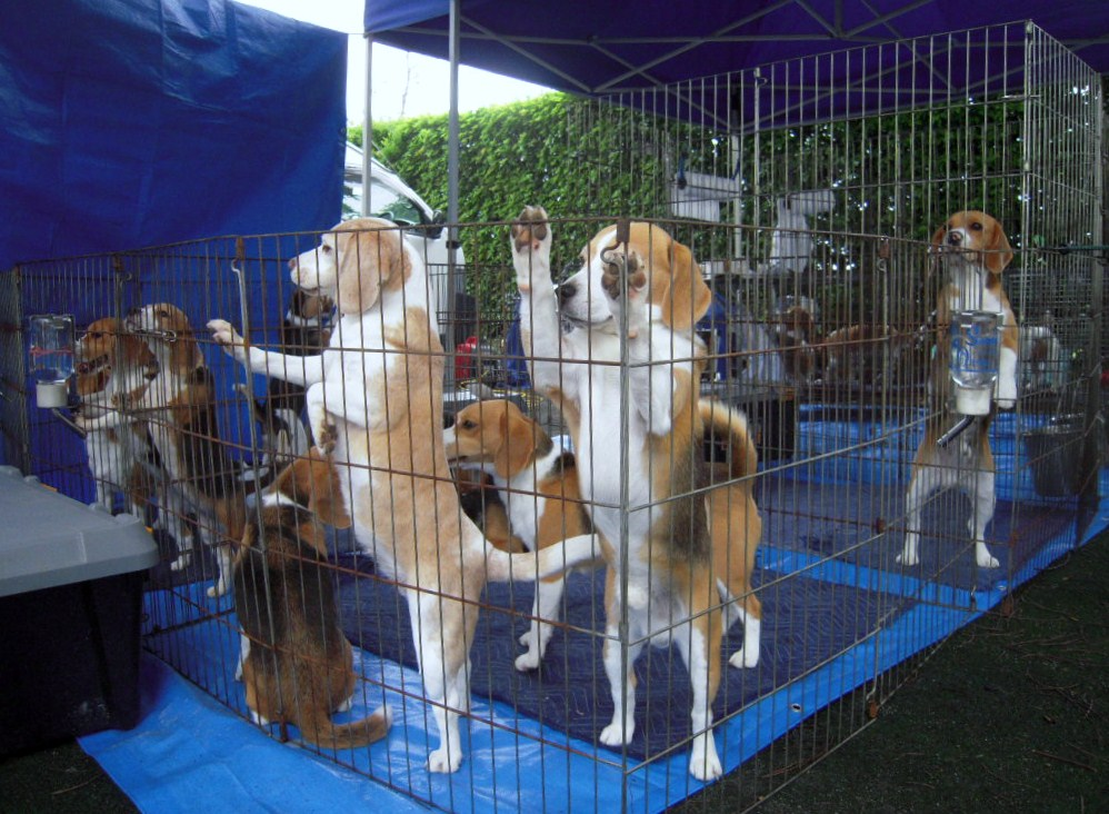 Full of beagle dogs  1_b0005652_15242740.jpg