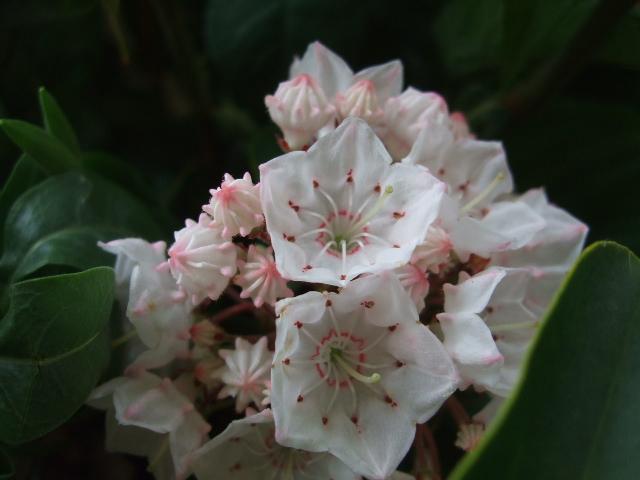 オークリーフ(薔薇・イノセントと白いカルミアのアレンジメント)_f0049672_1865567.jpg