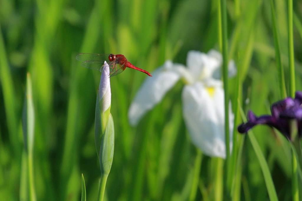 公園のアオゲラ/白い菖蒲に赤トンボ/月食前夜の月_b0024798_10502967.jpg