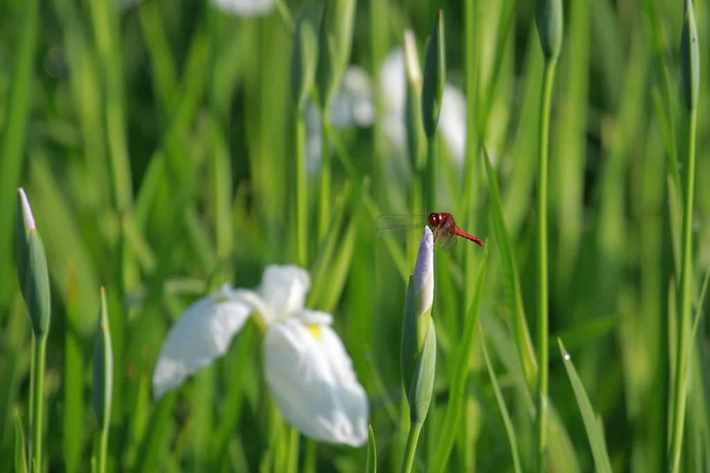 公園のアオゲラ/白い菖蒲に赤トンボ/月食前夜の月_b0024798_105039100.jpg
