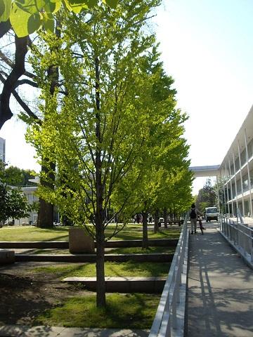 カツラの木(私の設計作法:材料辞典)_c0177863_11291520.jpg