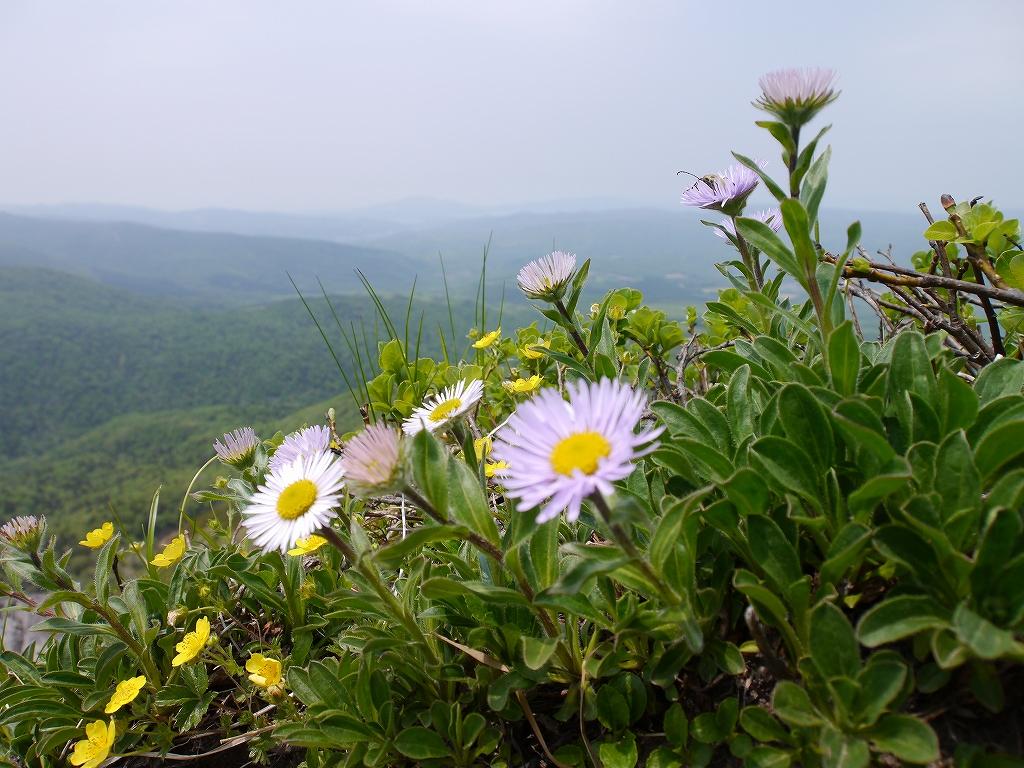 6月5日、徳舜瞥山とホロホロ山で見た花_f0138096_14335736.jpg