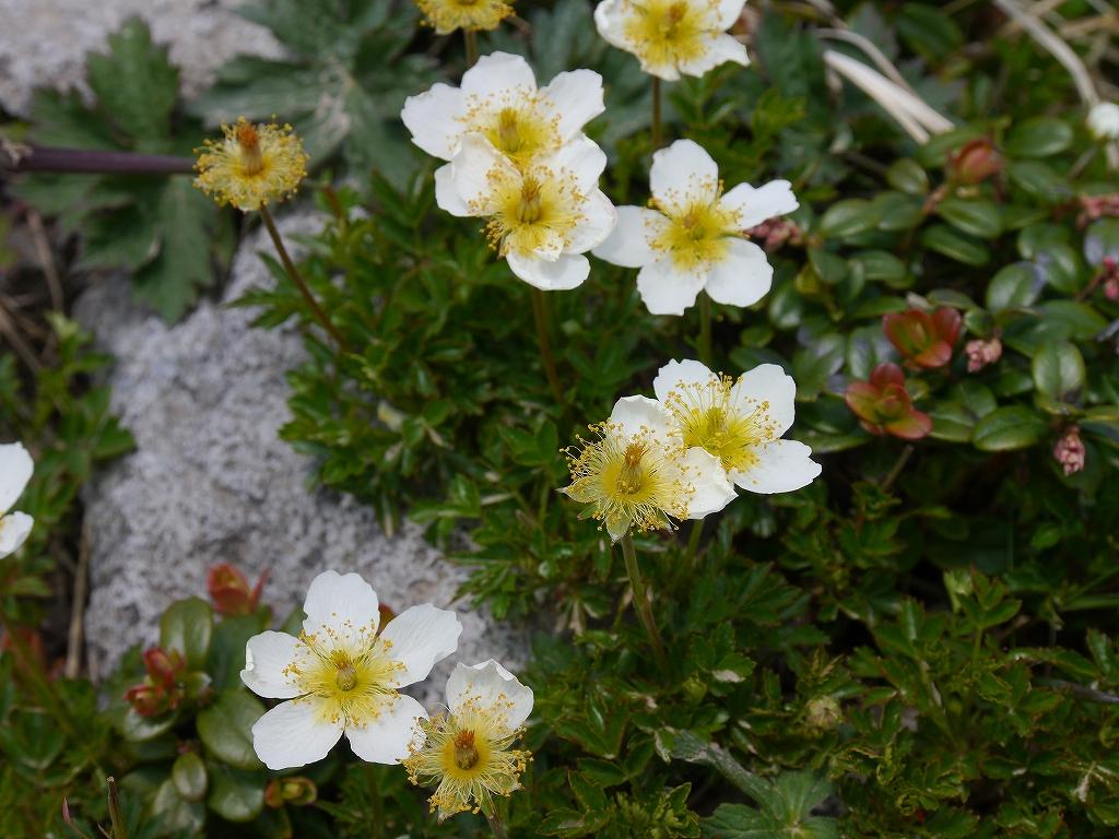 6月5日、徳舜瞥山とホロホロ山で見た花_f0138096_1433786.jpg