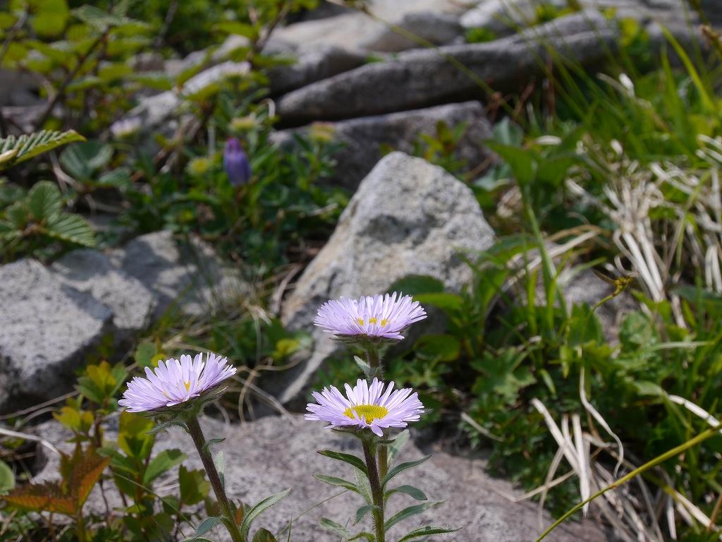 6月5日、徳舜瞥山とホロホロ山で見た花_f0138096_1434843.jpg