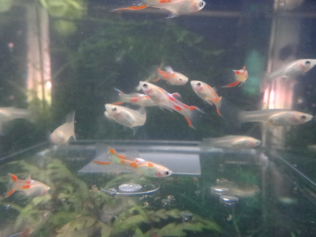 120607 熱帯魚・水草・金魚_f0189122_1255125.jpg